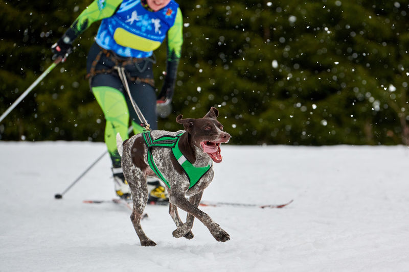 Low section of woman skiing while dog running on snowy land