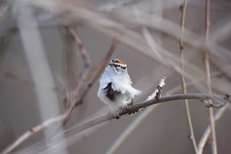 Bird Animal Wildlife Songbird  Branch Animal Perching Animals In The Wild Nature No People Beauty In Nature Close-up Outdoors Day Tolland, Connecticut Chipping Sparrow Wind-blown