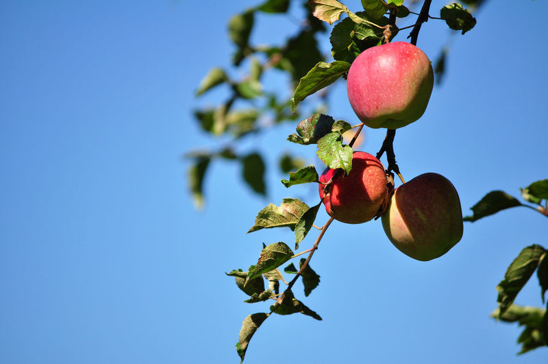 Low angle view of red apple on tree