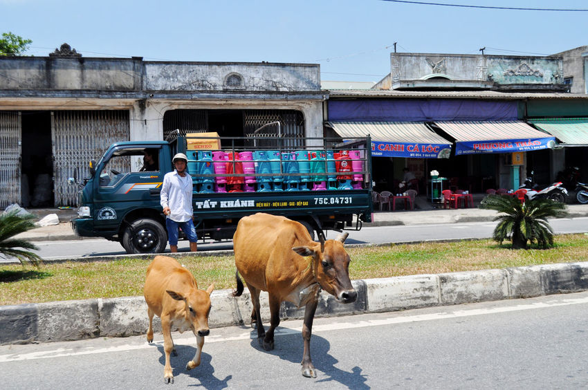 Guy running his cows through town near Hue in Vietnam. Animals Bovine Calf Calves Cattle Cowboys Cows Day Grass Huế Median Strips Outdoors Road Shops Shrubs Sky Transportation Trucks Walking