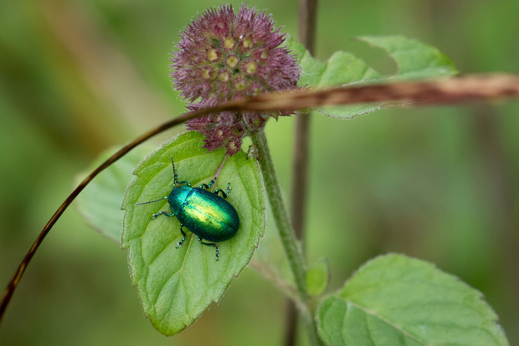 Close-up of green june beetle on plant