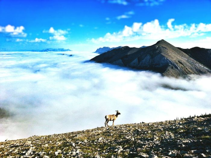 My Country In A Photo Canadian Rockies  Canada Climbing Goats Check This Out Hello World Mountains Cloudporn Clouds Above The Clouds