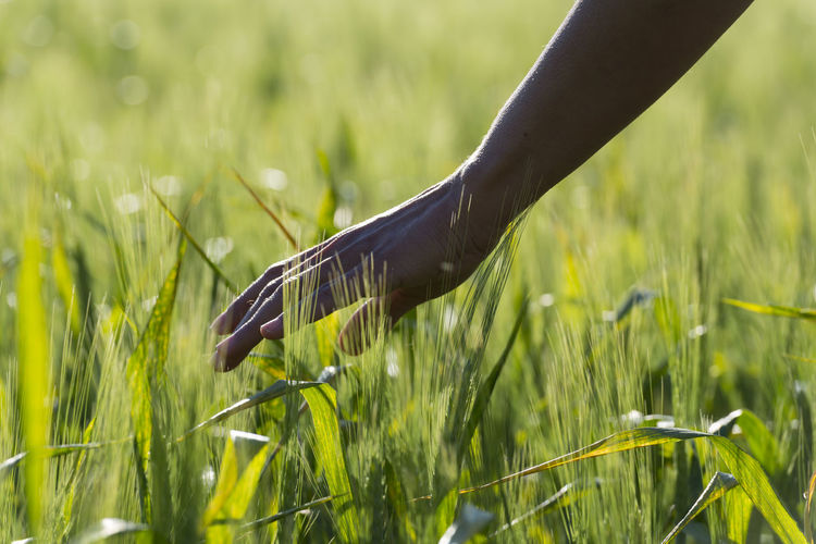 Close-Up Of Hand In Wheat Field