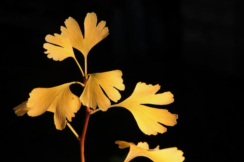 Autumn Ginkgo Ginkgo Biloba Yellow Leaves Beauty In Nature Black Background Close-up Ginkgo Leaf Ginkgo Tree Ginko Leaves Growth Leaf Nature No People Outdoors Plant Yellow Yellow And Black