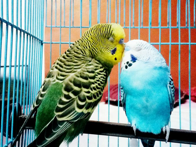 PetLover    Parakeet Animal Wildlife Love Animals💕 EyeEmNewHere Animal Love Pet Love Birds🐦⛅ Pets Corner Love In The Air Love In The Air 💚 Animals In The Wild EyeEmNewHere