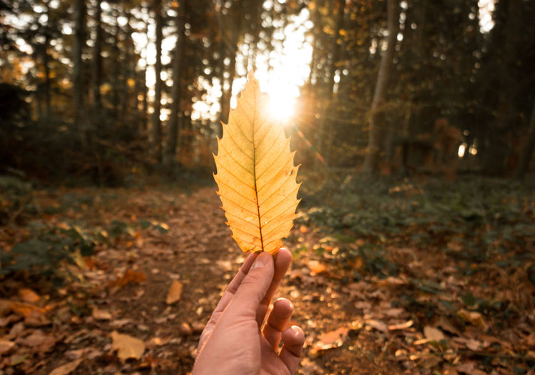 Autumn Autumn Leaves Sun Star Sunlight Autumn Colorful Focus On Foreground Forest Hand Holding Human Hand Leaf Leaves Outdoors Sunset Tree Unrecognizable Person