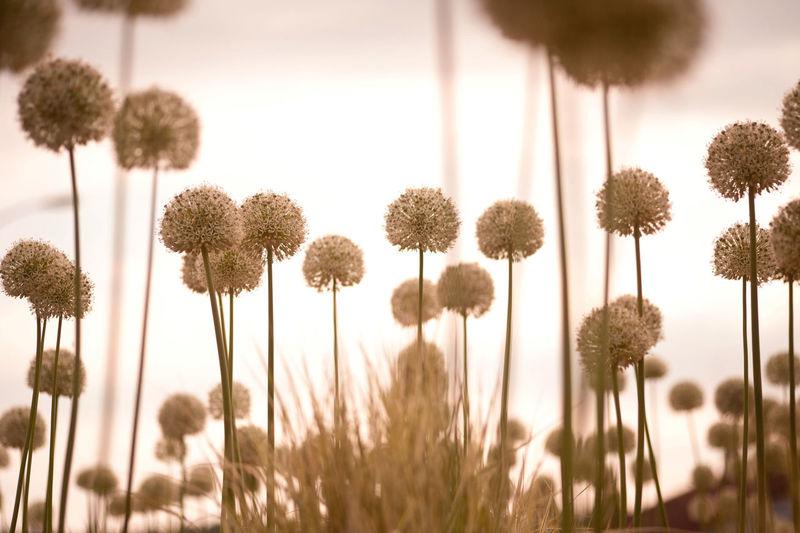 Close-up of allium flowers blooming against sky
