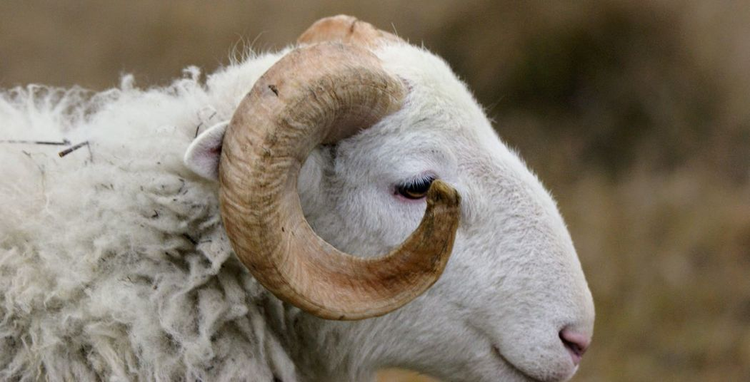 Horns RAM Animal Themes Close-up Day Domestic Animals Domesticated Animal Tag Farm Animal Farm Animal Close Up Focus On Foreground Herbivorous Livestock Mammal Nature No People One Animal Outdoors Sheep