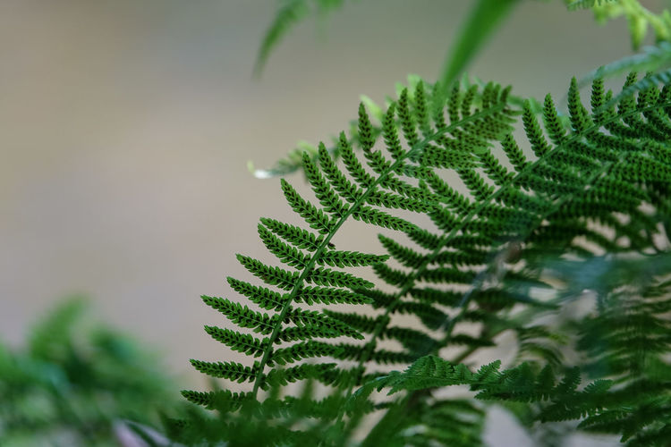 Farnwedel Gegenlichtaufnahme Beauty In Nature Branch Close-up Coniferous Tree Day Fern Fir Tree Focus On Foreground Green Green Color Growth Leaf Leaves Nature Needle - Plant Part No People Outdoors Pattern Pine Tree Plant Plant Part Selective Focus Tranquility Tree