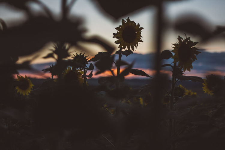 Outdoors Outdoor Tranquility Tranquil Scene Tranquil Plant Growth Beauty In Nature Sky Sunset Nature No People Flowering Plant Flower Freshness Close-up Selective Focus Cloud - Sky Fragility Tree Vulnerability  Silhouette Scenics - Nature Outdoors Flower Head