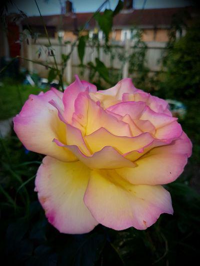 Flower Beauty In Nature Natural Pattern Beautiful Nature #rose #beauty #nature #flower #love eyeem sun