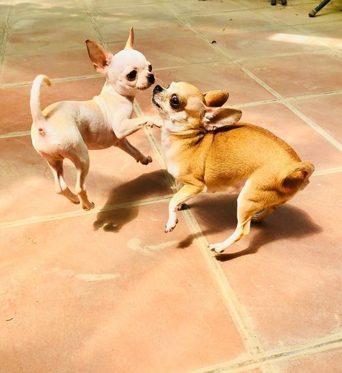 Dog Canine Animal Themes Pets Mammal Animal Domestic Vertebrate No People Chihuahua - Dog Nature