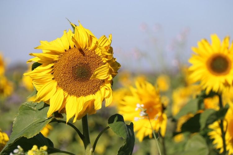 Autumn Sunflower Fall Beauty EyeEm Nature Lover Nature_collection Capture The Moment Flowers Nature 50 Shades Of Autumn
