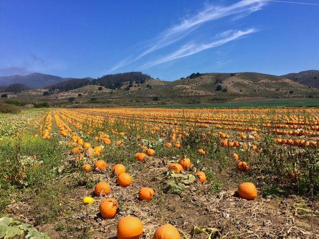 Pumpkin Pumpkins Pumpkinpatch