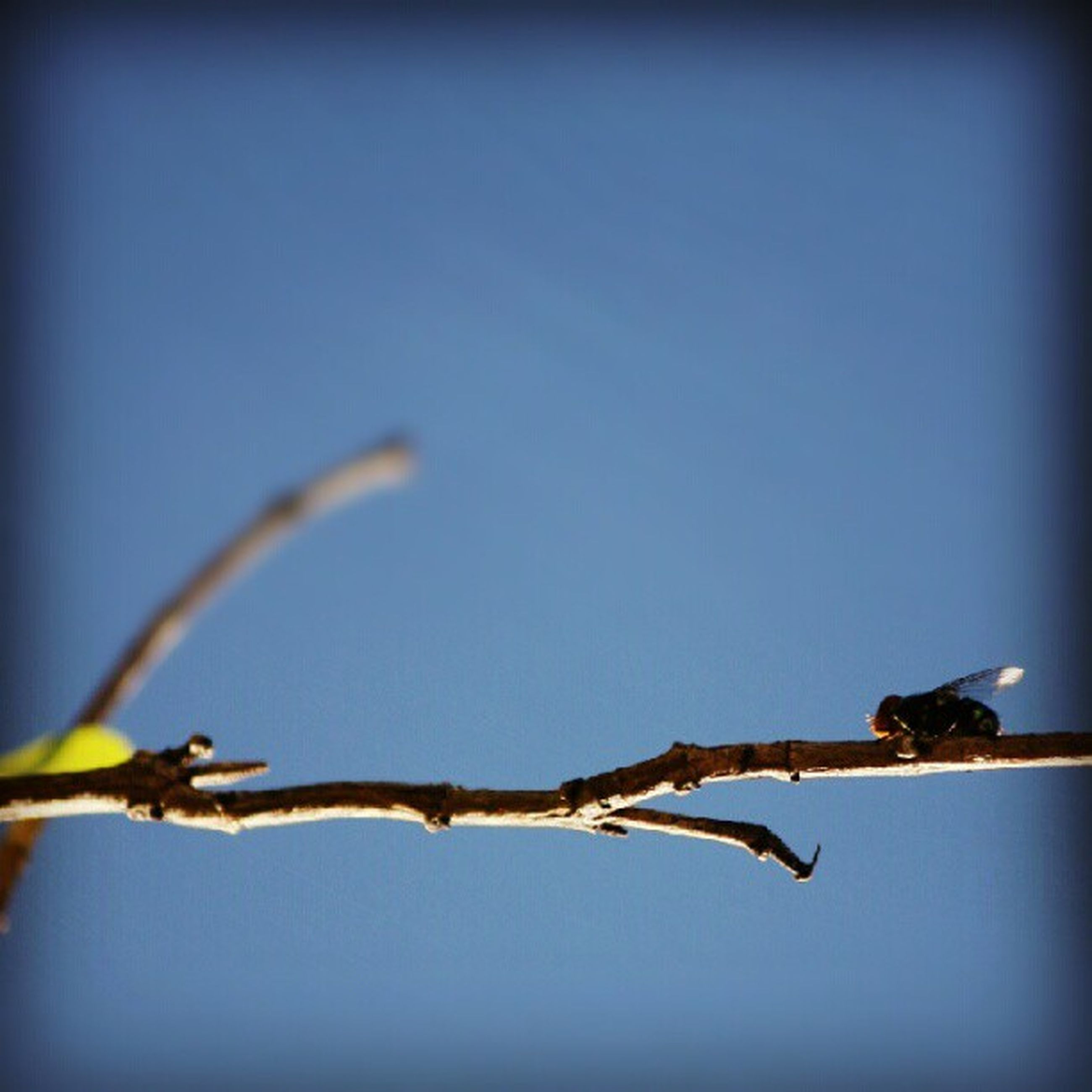 clear sky, focus on foreground, twig, branch, close-up, copy space, perching, low angle view, barbed wire, nature, stem, animal themes, wildlife, outdoors, day, selective focus, no people, fence, blue, protection