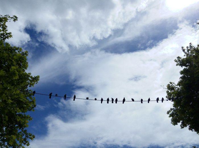 Cloud - Sky Sky Day Outdoors Animal Wildlife Bird No People Nature Tree Pigeonslife Pigeon Watching Pigeonsonwire