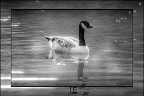 Animal Themes Animals In The Wild One Animal Bird Swimming Animal Wildlife No People Day Water Nature Lake Outdoors
