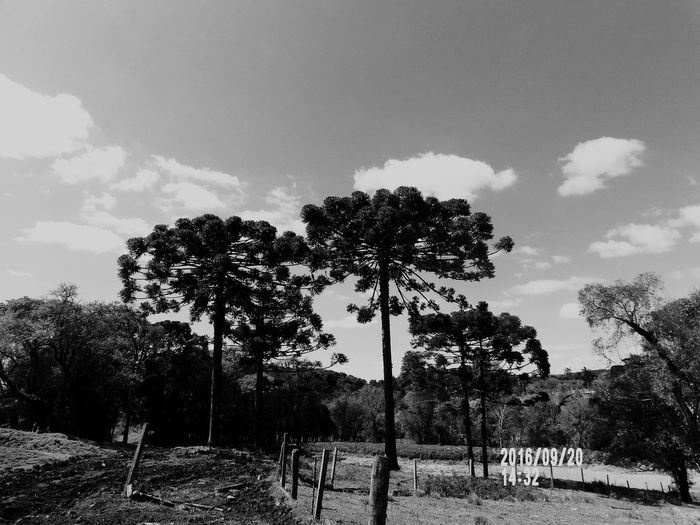 Tree Sunset Landscape Cloud - Sky No People Sky Nature Summer Social Issues Outdoors Day Sul Pinheiro Araucaria Arvore Tree