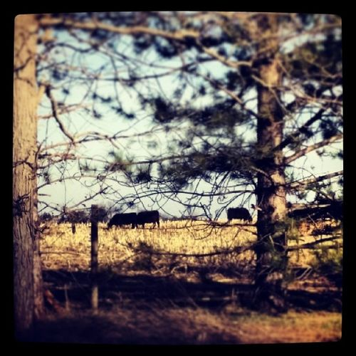 Yup, cows. Cows Animals AndroidPhotography Outside nature trees field note3