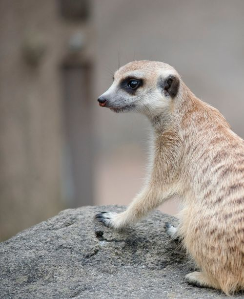Animal Themes Animal Animal Wildlife Animals In The Wild One Animal Mammal Meerkat Vertebrate No People Focus On Foreground Nature Looking Day Side View Looking Away Close-up Animal Body Part Outdoors Animal Head  Rock - Object