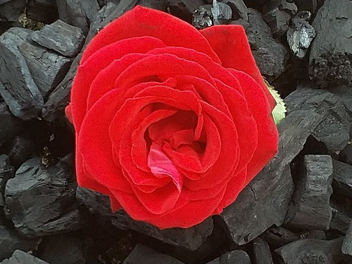 Just another rose. Variety of 5 roses. Red Red Rose Flower Head Flower Red Rose - Flower Petal Close-up Plant Textured  Rough Full Frame