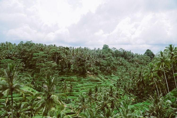 Rice field in