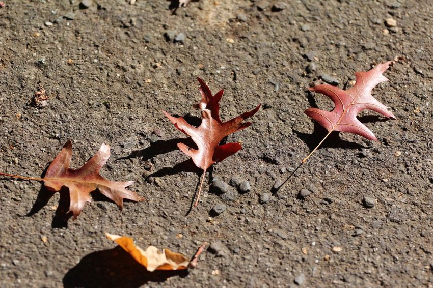 Herbst18⭐️ EyeEm Nature Lover Picoftheday Nature_collection Leaf Plant Part Nature Autumn High Angle View No People Day Starfish  Leaves Sunlight Close-up Land Change Dry Orange Color Star Shape Maple Leaf Sand Outdoors Shape