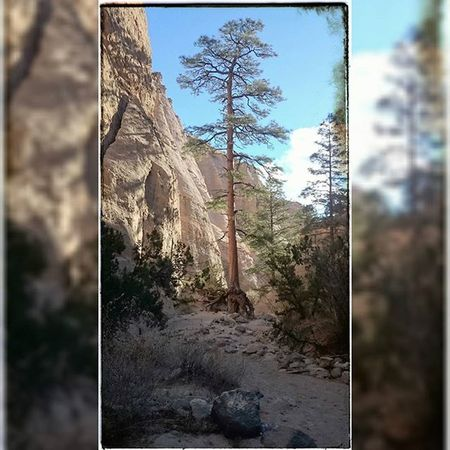 I love pictures of trees,came across this great shot at Tent Rocks today! Trees Instagood Tentrocks SW Newmexico Natureboyphotos Filtered Nature