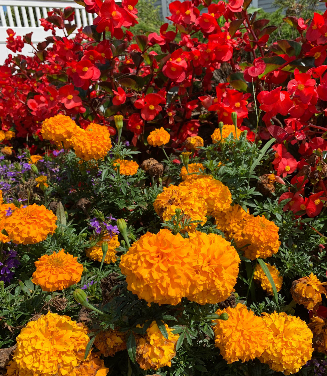 CLOSE-UP OF MARIGOLD FLOWERS