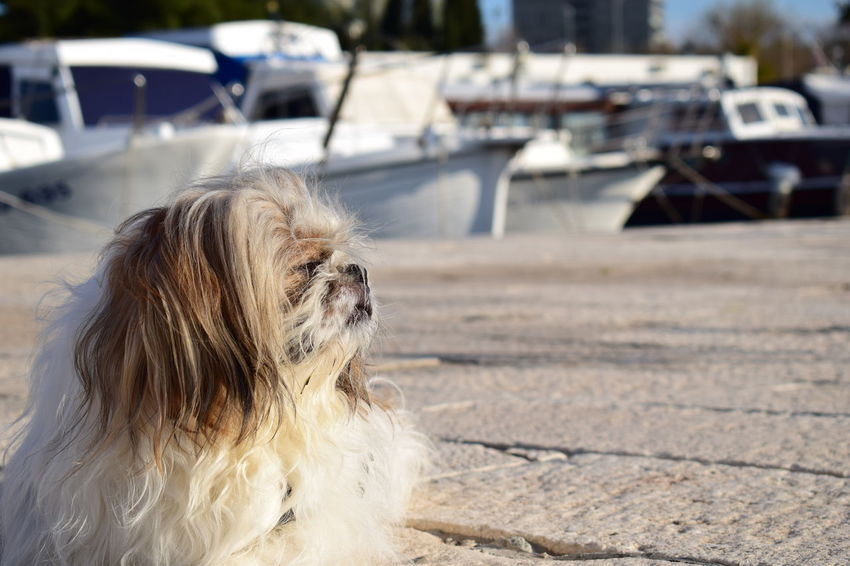EyeEmNewHere Animal Animal Hair Animal Photography Animal Themes Canine Day Dog Domestic Domestic Animals Focus On Foreground Hair Looking Looking Away Mammal No People One Animal Outdoors Pets Shih Tzu Small Sunlight Vertebrate