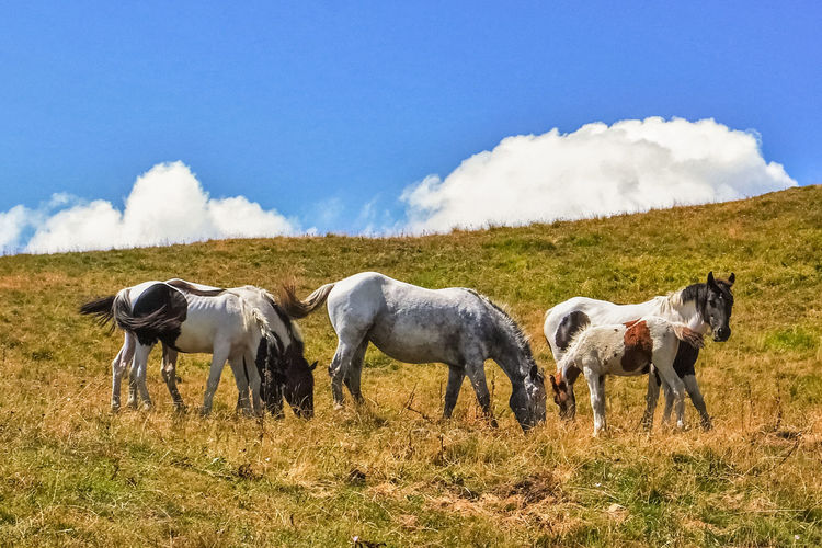 Family of five horses grazing near the summit of mount Lesima, in Lombardy (northern Italy) Animals Cloud Day Family Feeding  Field Five Grass Grazing Horses Italy Landscape Lesima Lombardy Mammal Mountain Nature Outdoors Pavia Rural Rural Scene Sky Wild Wildlife