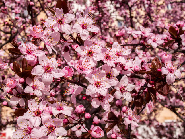 Beauty In Nature Blooming Close-up Crimea,Russia Day Drain Pissardi Flower Flower Head Flowers Fragility Freshness Gawlet Growth Nature No People Outdoors Petal Pink Color Plum Desks Prunus Cerasifera Prunus Cerasifera Pissardii Prunus Pissardii Sevastopol' Springtime