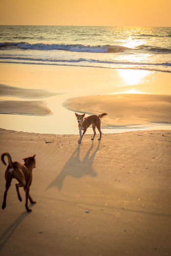 Dogs on beach against sky during sunset