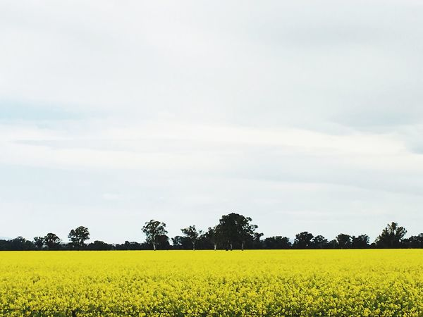Paint The Town Yellow Agriculture Yellow Field Oilseed Rape Crop  Growth Nature Beauty In Nature Cultivated Land Rural Scene Farm Tranquility Tranquil Scene Landscape Flower Mustard Plant Sky Scenics Day No People Adventures In The City