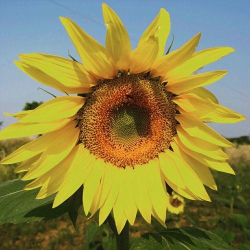 Plantaciones de girasoles en Gral. Resquin Hello World Paraguay Tierra Bendita Nature Flowers