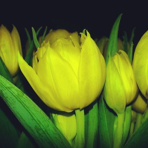 Only yellow tulips as Easter decoration... Yellow Flower Tulips Easter Påskpynt