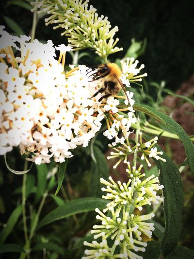 Flower Bee HoneyBee Beauty In Nature Close-up Petal White Nature Flower Head Plant Blossom Worker Bees