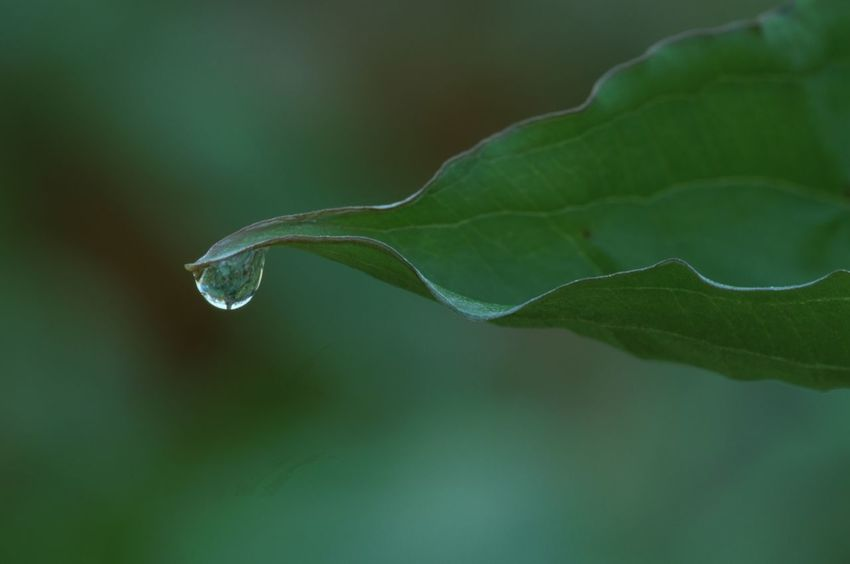 Morning Dew On Tip Of Leaf Hanging Beauty In Nature Green Leaves Gentle Reflecting Up Close