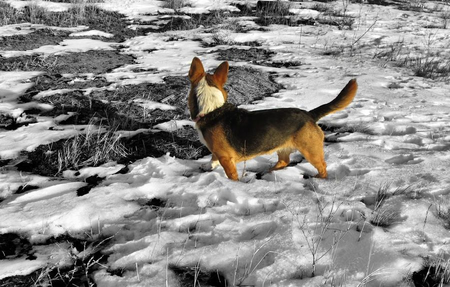 Adventure Animal Animal Themes Blackandwhite Close Up Cold Cold Days Cold Temperature Cold Winter ❄⛄ Coldweather Corgi Cute Cute Dog  Cute Pets Day Dog Domestic Animals Looking Mammal No People One Animal Pets Welsh Corgi White Color Winter