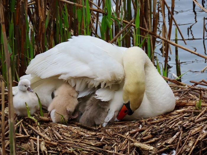 Mute swan nest multiple cygnets under and around the mother beauty in nature close up animal themes outdoors White Color Animal Bird No People Animal Nest Group Of Animals Nature