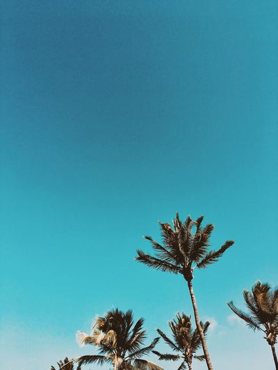 Palmtrees Paradise Sky Low Angle View Tree Plant Copy Space Growth Clear Sky No People Blue Nature Beauty In Nature Day Tranquility Outdoors Scenics - Nature Tropical Climate Sunny Sunlight Treetop Palm Tree