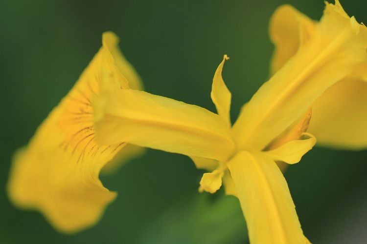 Iris 野草 Wildflower 菖蒲 Macro Photography Flower Head Flower Yellow Petal Springtime Herbal Medicine Botany Blossom Close-up Plant