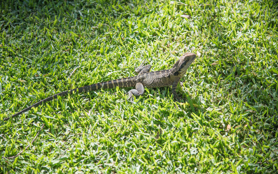 Australian Water Dragon sunbathing on green grass. Australia Australian Water Dragon Blades Of Grass Day Full Length Grass Green HEAD High Angle View Large Large Lizard Lizard Nature Outdoors Pattern Reptile Spiked Striped Sunbathing Sunlight Sunny Sydney Tail Water Dragon Wildlife