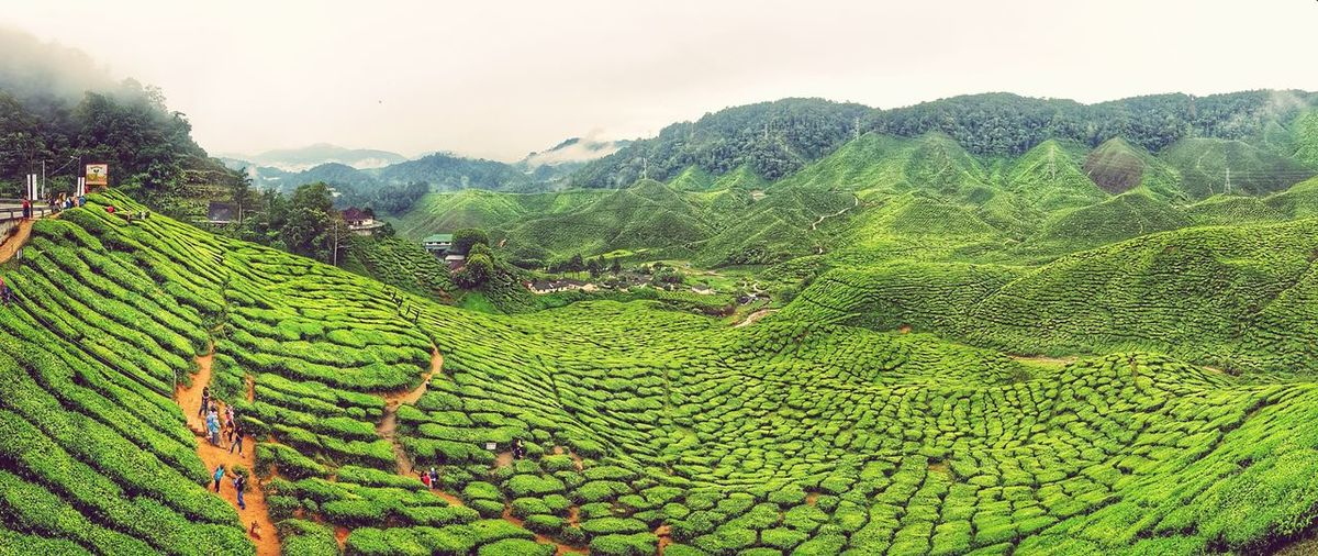 Scenery geen at Tea Farm Cameron Highland, Pahang Malaysia Mountain Landscape Nature Mountain Range Cloud - Sky Tree Agriculture Plant Tea Crop Green Color Cameron Highland Cameronhighlands Pahang Malaysia Been There. Done That. Connected By Travel