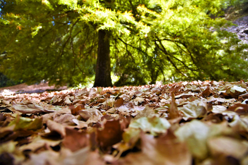 Forest ground cover leaves Tree Nature Beauty In Nature Outdoors Growth Tranquility Autumn Leaf Taking Photos Enjoying Life Relaxing