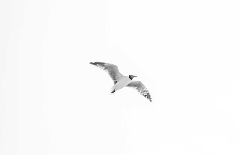 flying high EyeEm Best Shots EyeEmNewHere EyeEm Nature Lover EyeEm Gallery EyeEm Selects EyeEm Bird Flying One Animal Outdoors Seagull Seagulls Sky Spread Wings Animal Themes Animals In The Wild Nature