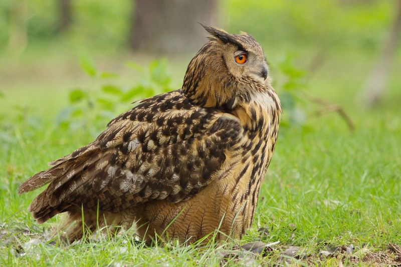 Side View Of Eurasian Eagle Owl On Field