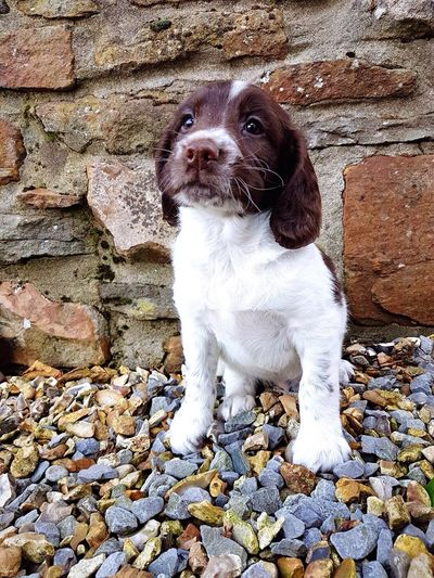 A new companion 🐶 Mammal One Animal Animal Themes Domestic Animals Pets No People Dog Outdoors Day Close-up English Springer Spaniel Puppy Cute Brown White Companion First Eyeem Photo