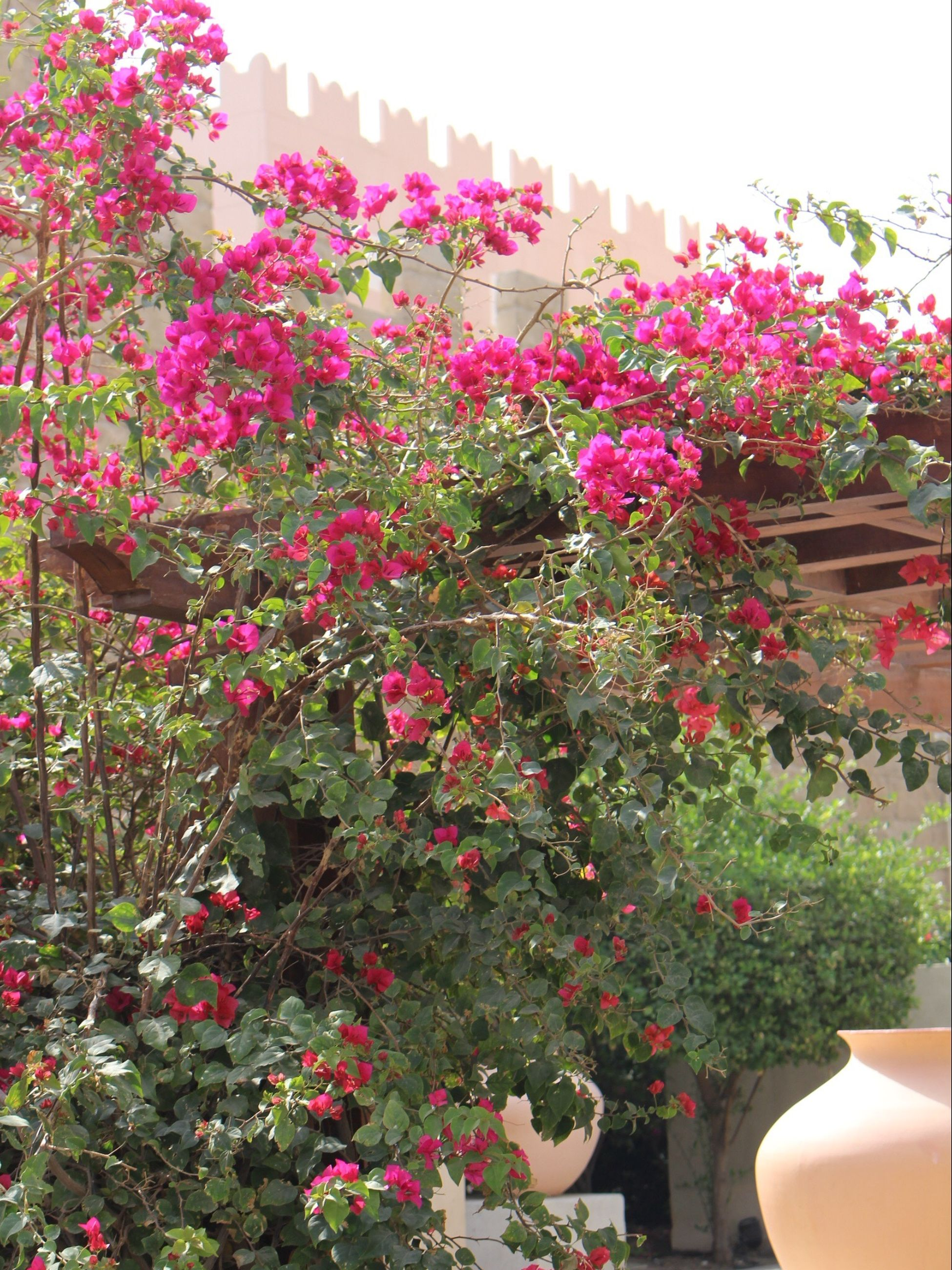 flower, growth, freshness, pink color, fragility, plant, built structure, architecture, building exterior, low angle view, beauty in nature, nature, tree, blooming, petal, in bloom, clear sky, potted plant, day, blossom