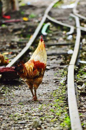 Nikonphotography Moments Caught Chicken - Bird Railline Nature Photography Street Photography Nikon D3200 Upload Clicked.... Eym Gallery EyeEm Best Shots Eye Em Market...